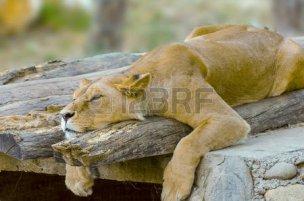 27534700-ライオン休息