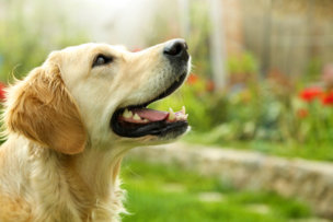45787971 - adorable golden retriever on nature background