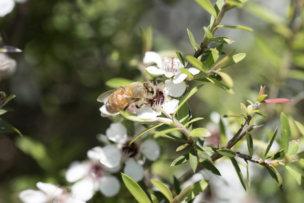77745043 - new zealand manuka flowers and a bee